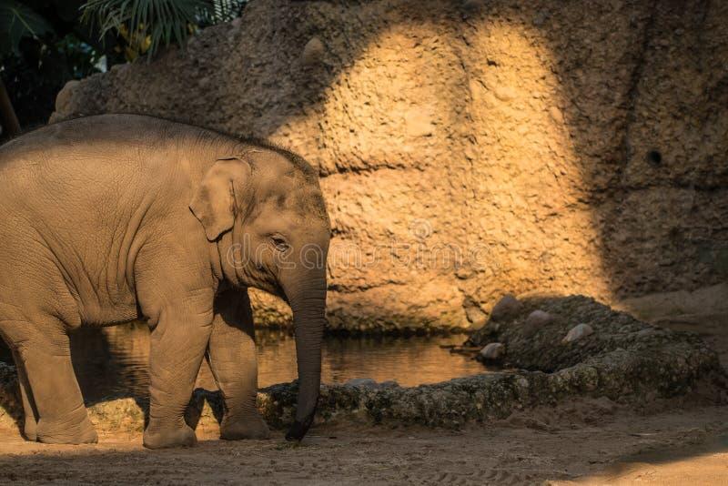 Giovane e piccolo elefante del bambino che cammina intorno allo zoo fotografia stock