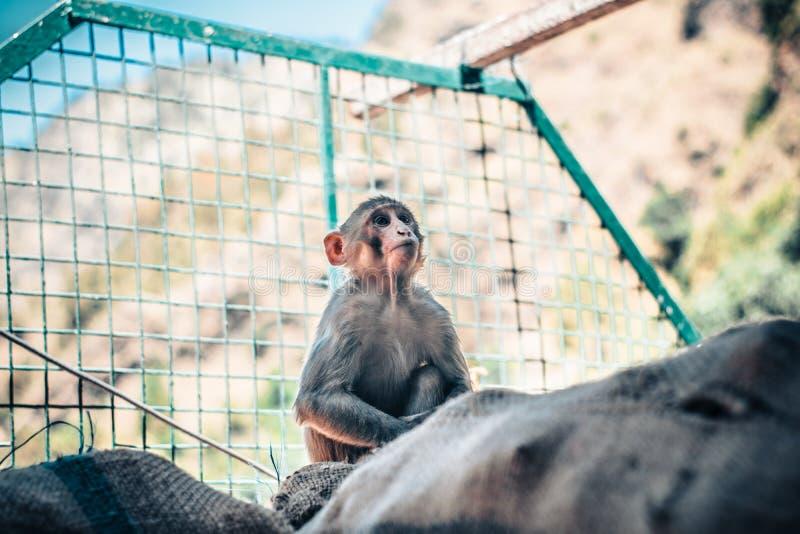 Giovane e re messo a fuoco della scimmia fotografia stock
