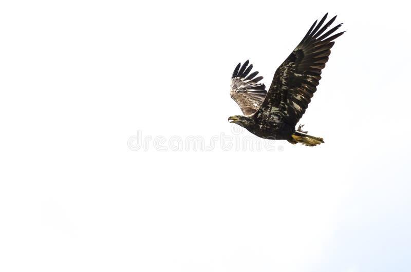 Giovane Eagle Flying calvo su un fondo bianco immagine stock libera da diritti