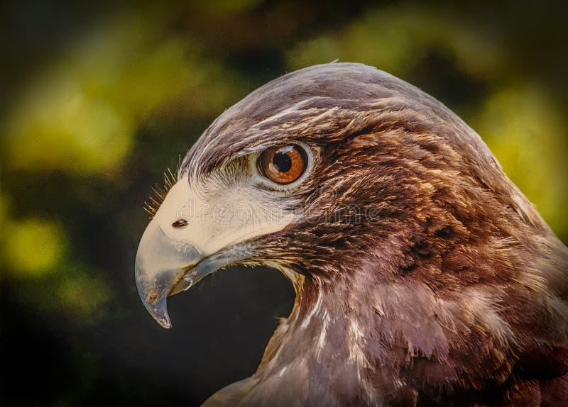 Giovane Eagle Profile calvo fotografie stock
