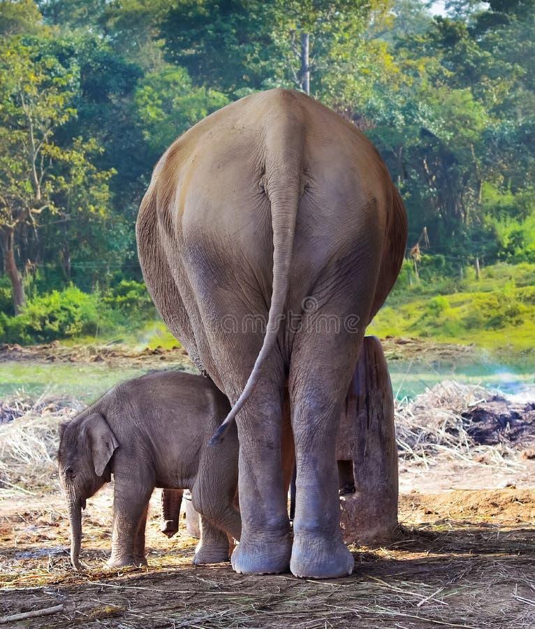 Giovane elefante accanto all'elefante della madre nella foresta fotografia stock libera da diritti