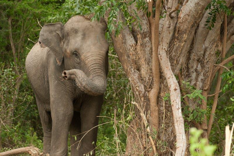 Giovane elefante asiatico nella foresta. fotografie stock