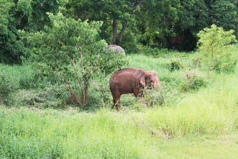 Giovane elefante che cammina alla foresta fertile fotografia stock libera da diritti