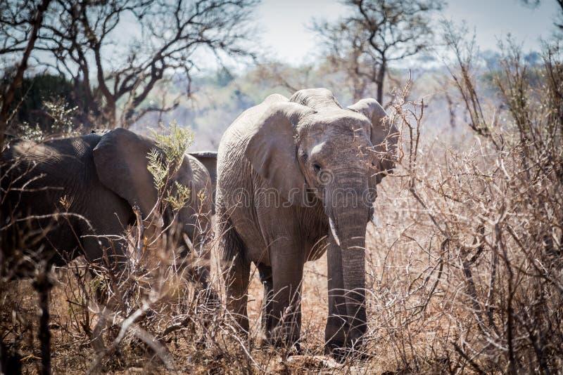 Giovane elefante che cammina attraverso il cespuglio spinoso immagini stock