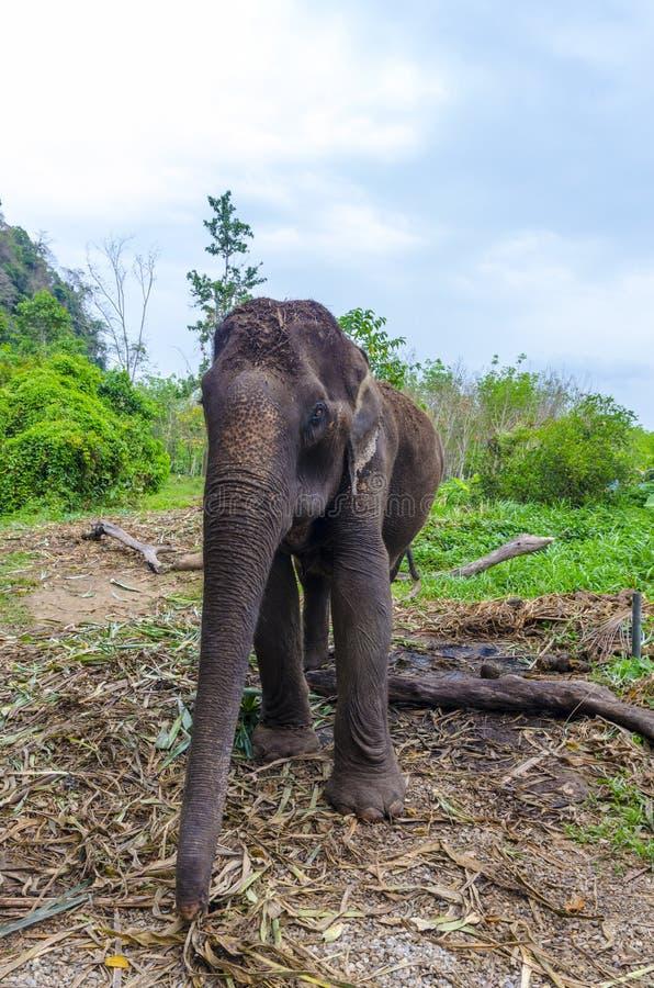 Download Giovane Elefante Che Pasce In Un Villaggio Tailandese Illustrazione di Stock - Illustrazione di parco, posizioni: 30828596