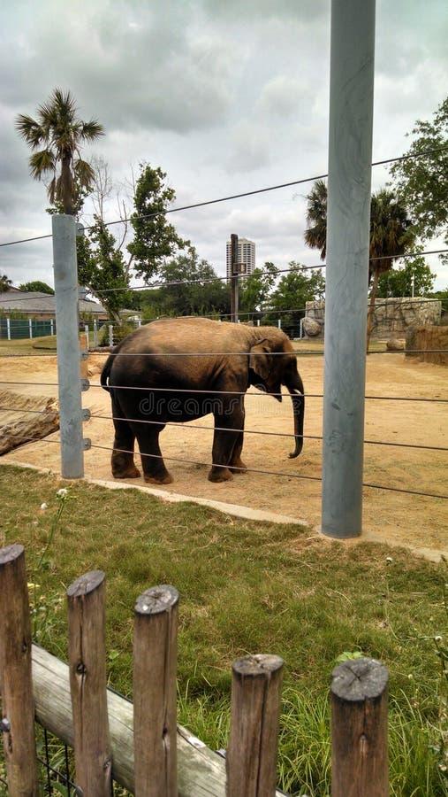 Giovane elefante a Houston Zoo fotografia stock