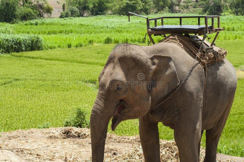 Giovane elefante nel campo dell'elefante. fotografia stock libera da diritti