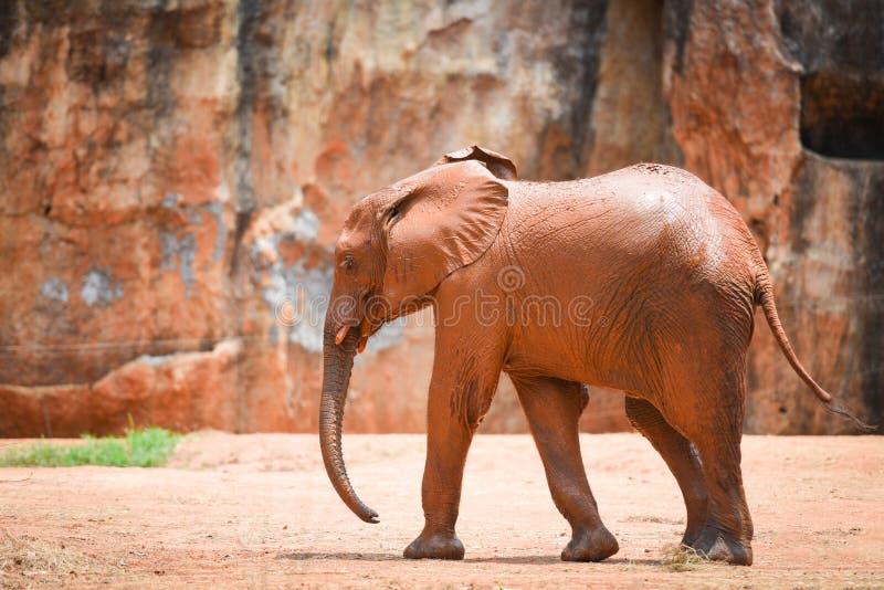 Giovane elefante nell'elefante dell'Africa del parco nazionale con fango su pelle fotografia stock libera da diritti