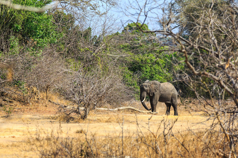Giovane elefante in una foresta immagini stock libere da diritti