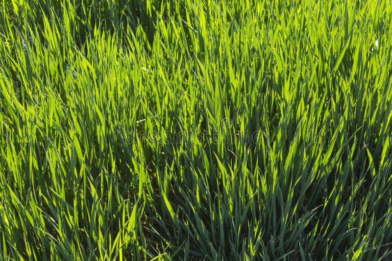Giovane erba fresca della molla contro la luce fotografia stock