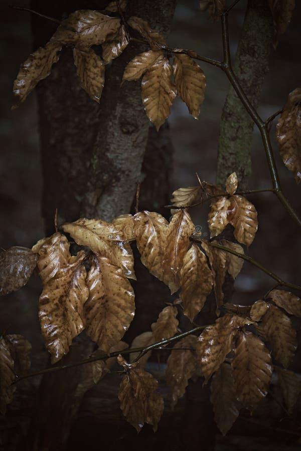 giovane faggio in pioggia fotografie stock