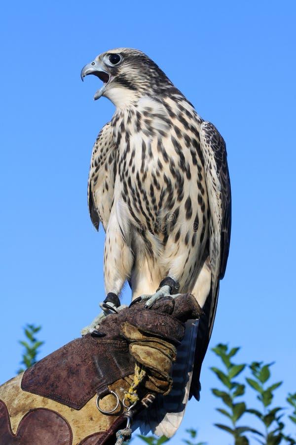 Giovane falco pellegrino selvaggio sul guanto dell'istruttore che grida fotografia stock libera da diritti