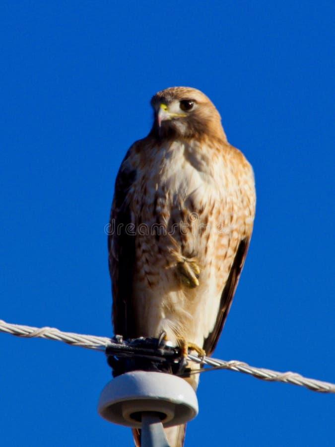 Giovane falco su cavo fotografia stock libera da diritti