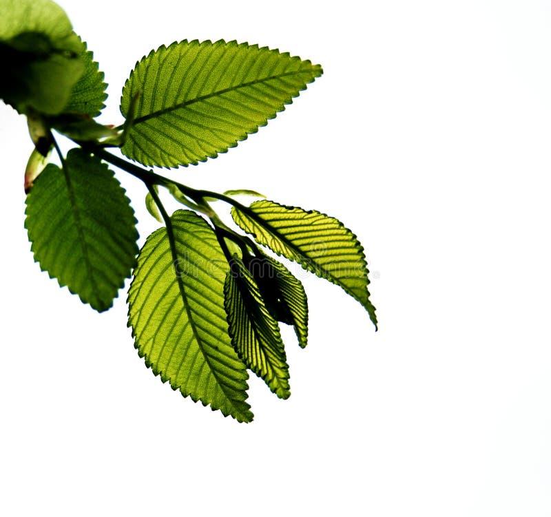 Giovane filiale dell'albero fotografie stock