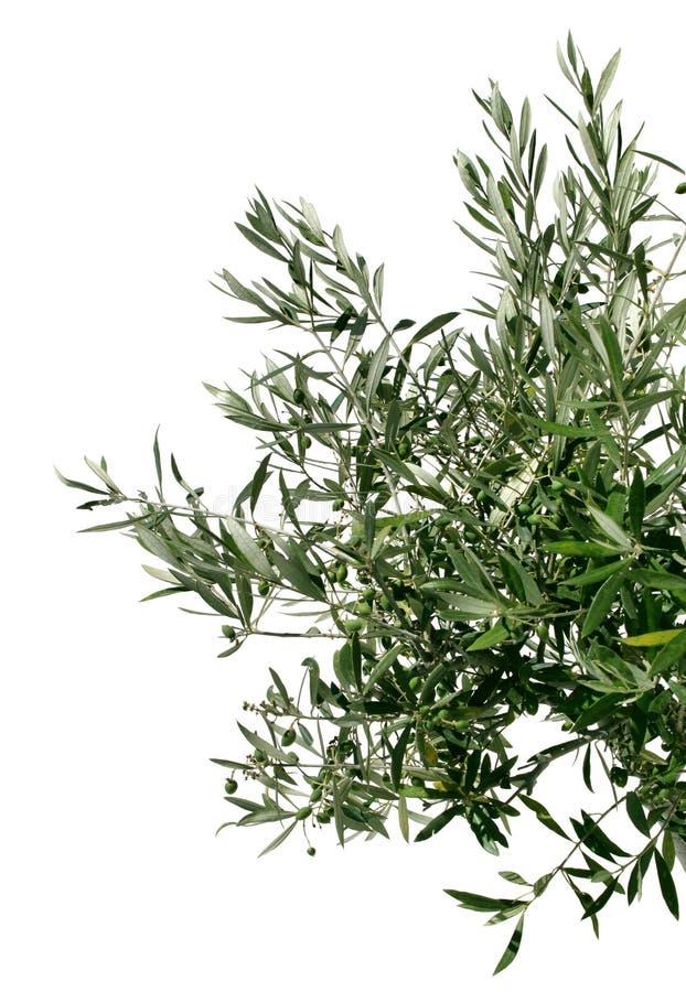 Giovane filiale di olivo fotografia stock