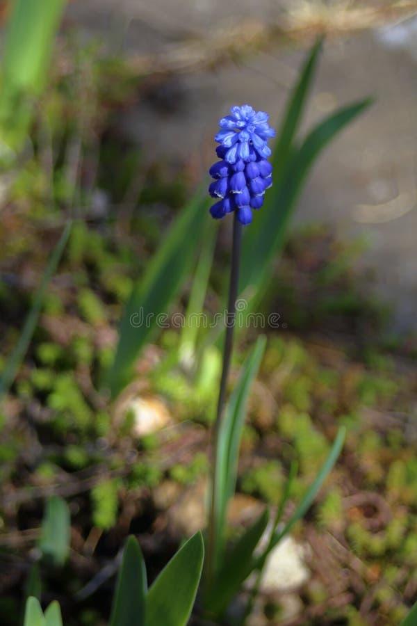 Giovane fiore della fine blu del Muscari su immagine stock