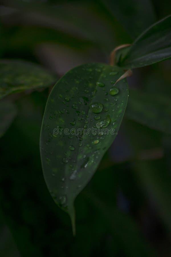 Giovane foglia di bambù dopo una pioggia fotografia stock libera da diritti