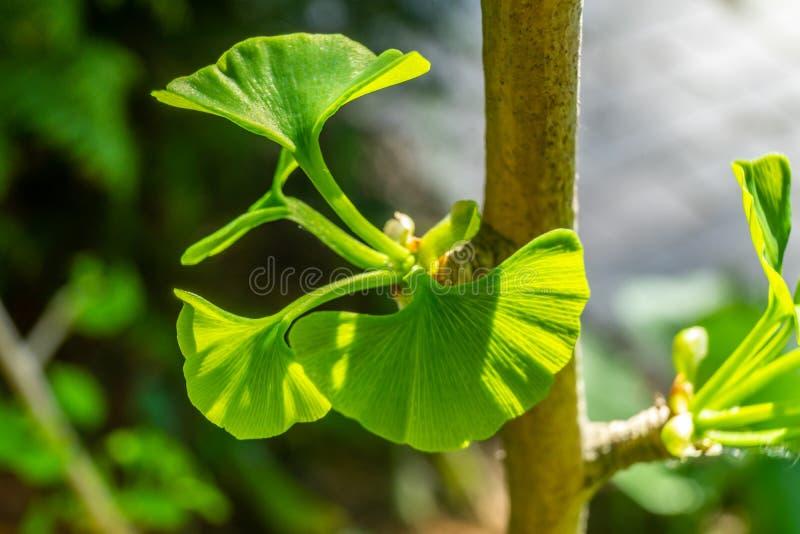 Giovane foglia di un albero del ginkgo, ginkgo biloba scientifico di nome, in primavera, primo piano contro un fondo vago fotografia stock