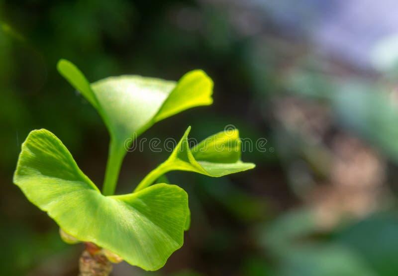 Giovane foglia di un albero del ginkgo, ginkgo biloba scientifico di nome, in primavera, primo piano contro un fondo vago fotografia stock libera da diritti