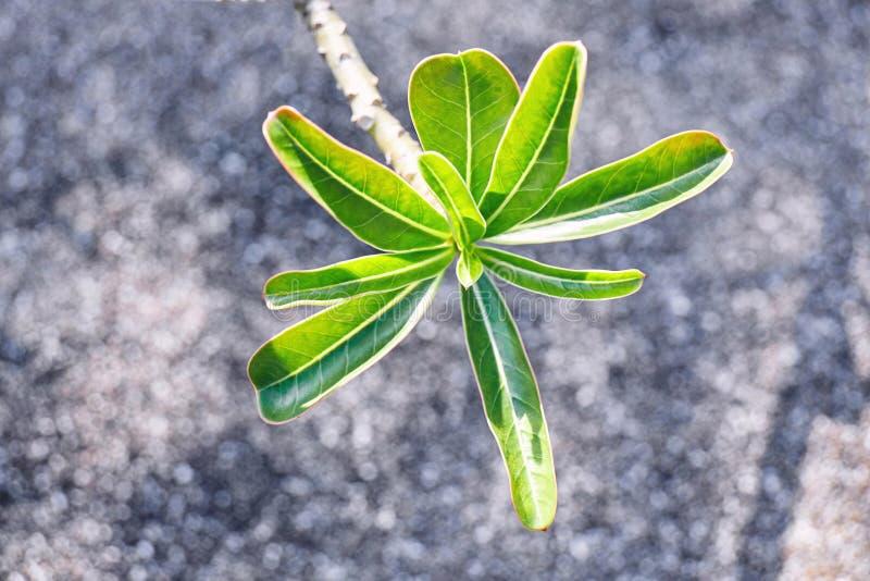 Giovane foglia verde della rosa del deserto, giglio di impala con fondo vago fotografia stock libera da diritti