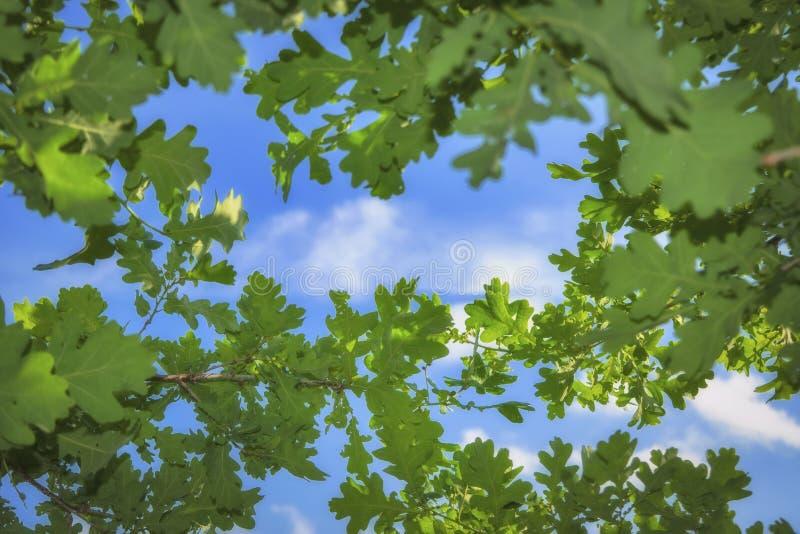 Giovane fogliame verde chiaro della quercia contro un cielo blu e le nuvole bianche fotografie stock libere da diritti