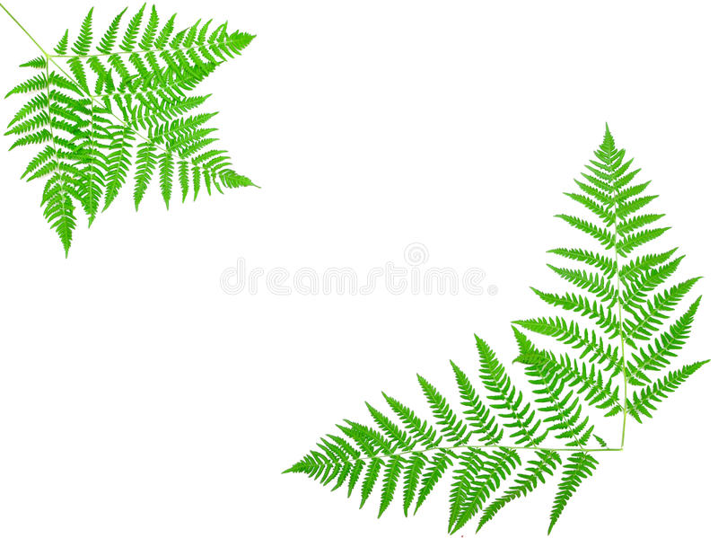 Giovane foglio verde della felce fotografie stock