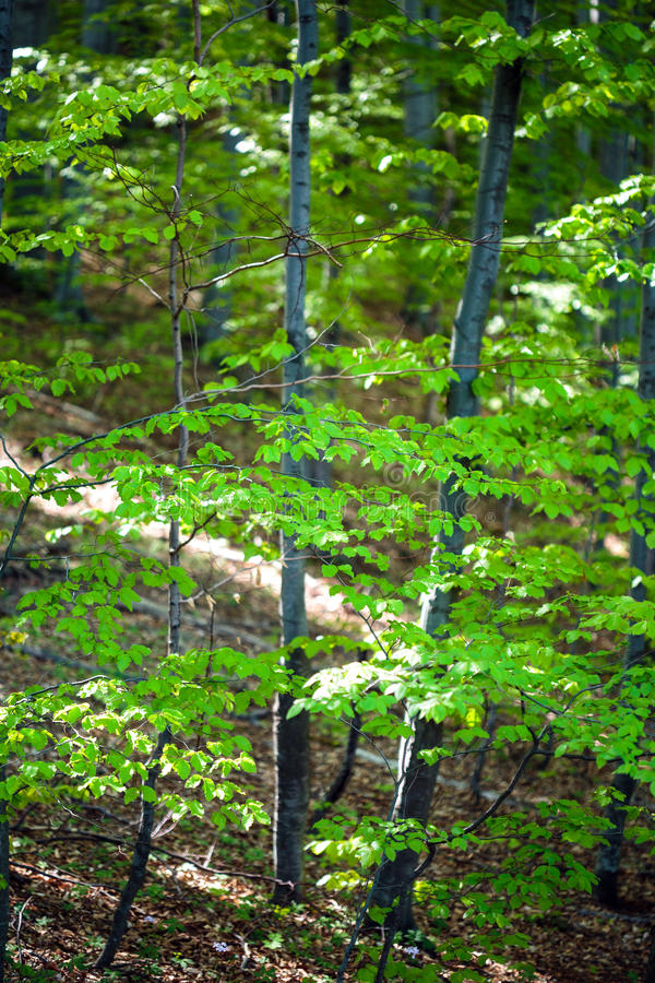 Giovane foresta del faggio fotografia stock