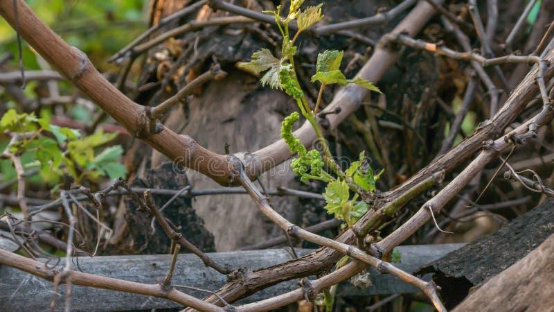 Giovane formazione dell'uva fotografie stock libere da diritti