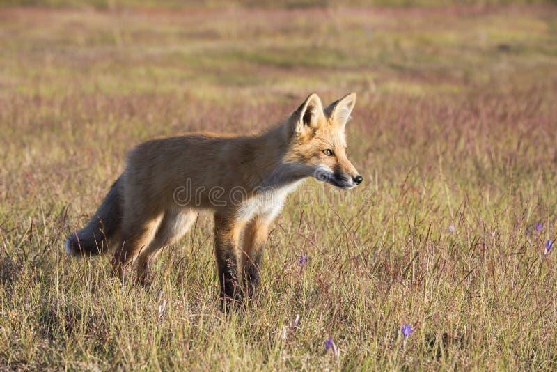 Giovane Fox in prato fotografia stock libera da diritti