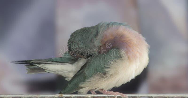 Giovane fringillide blu femminile di Gouldian specie di un uccello della famiglia di Estrildidae fotografia stock libera da diritti