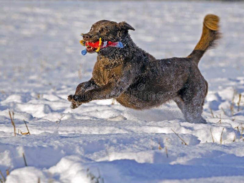 Giovane funzionamento del Chesapeake bay retriever nella neve con il giocattolo rosso immagine stock