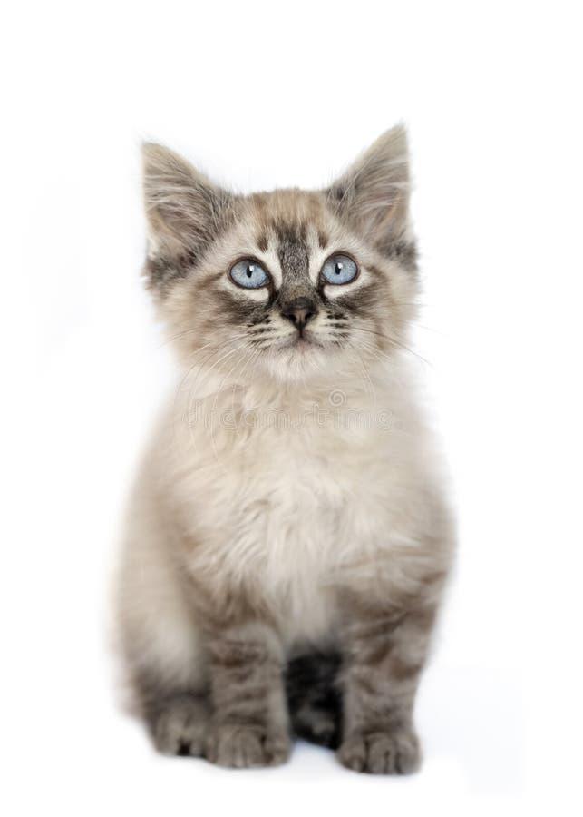 Giovane gattino di birman fotografia stock libera da diritti