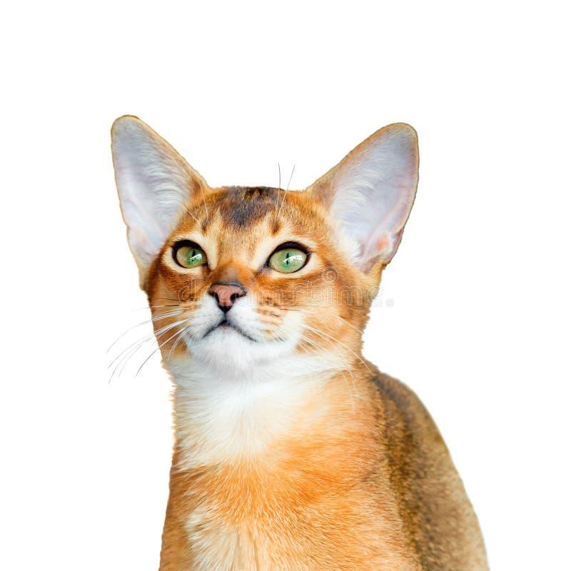 Giovane gatto abissino immagini stock