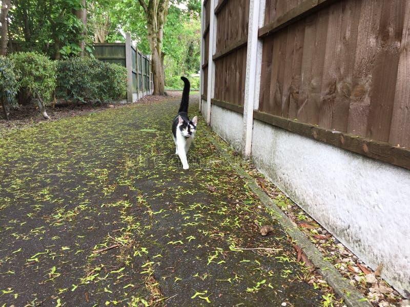 Giovane gatto in bianco e nero che cammina verso la macchina fotografica fotografie stock