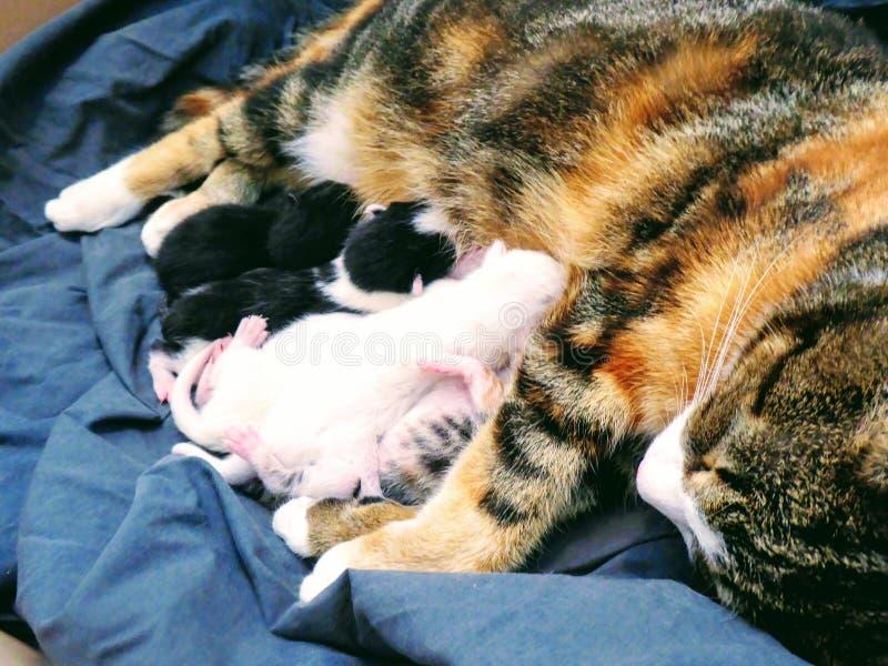 Giovane gatto che alimenta i piccoli gattini sul panno blu fotografie stock