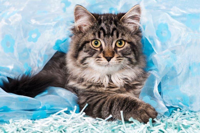 Giovane gatto di soriano che si trova su un tappeto blu immagini stock