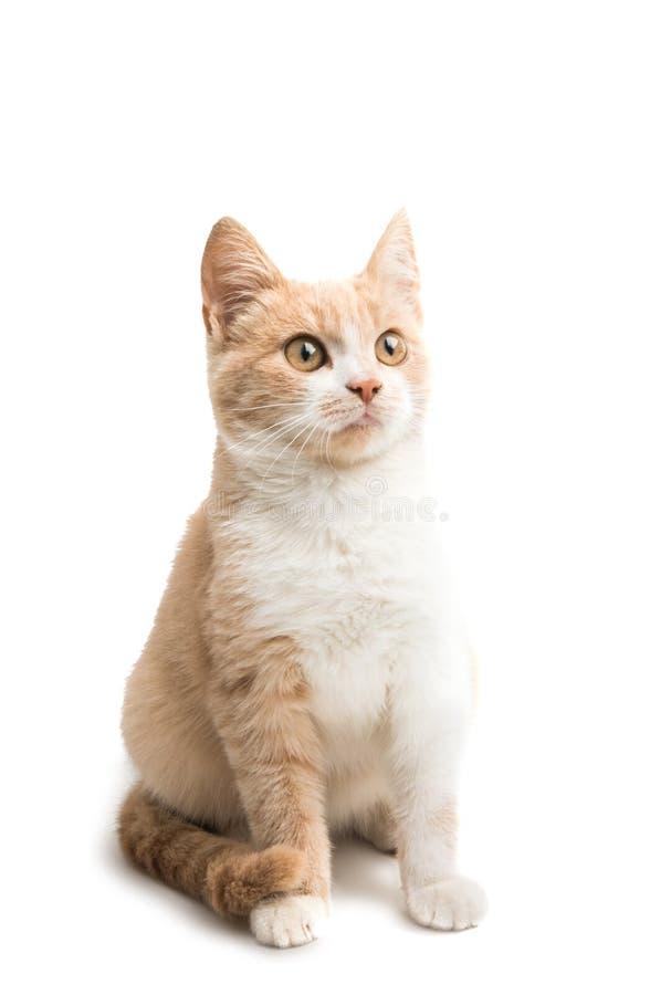 Giovane gatto isolato fotografia stock libera da diritti