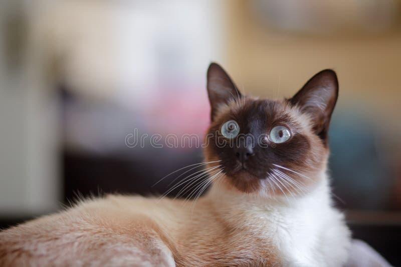 Giovane gatto siamese sveglio largamente osservato di Sealpoint fotografia stock