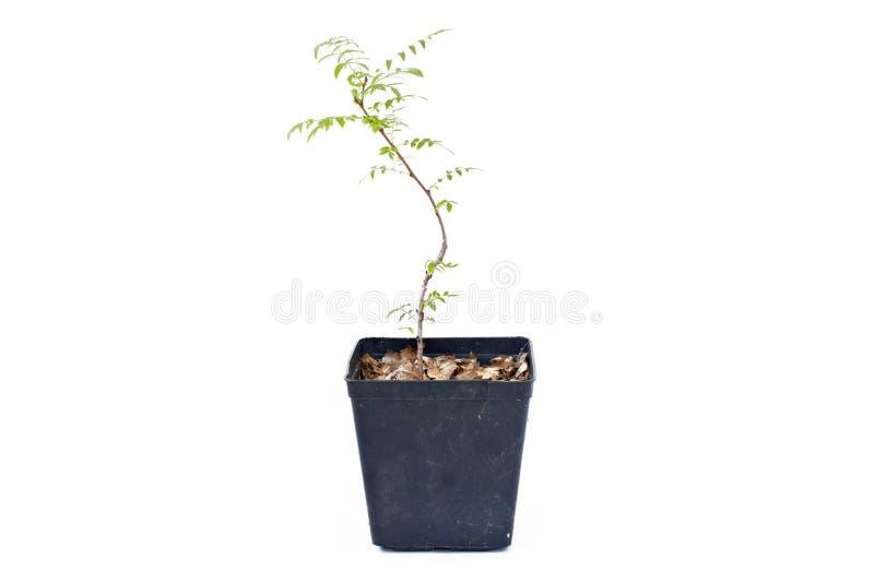 Giovane germoglio grandiflora di Campsis in vaso di plastica immagine stock libera da diritti
