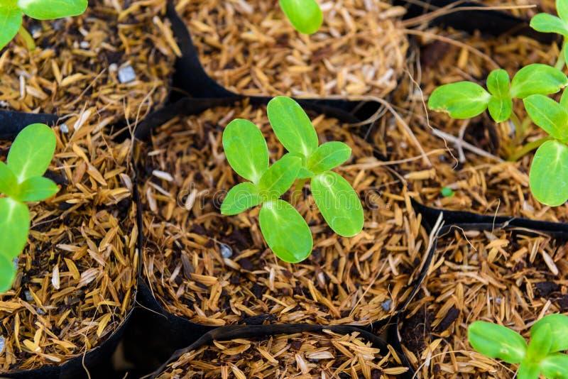Giovane germoglio verde del girasole immagini stock