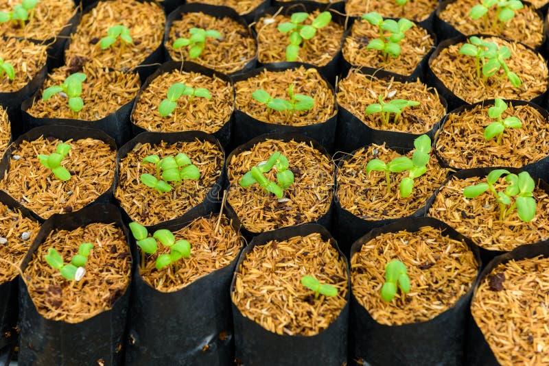 Giovane germoglio verde del girasole immagine stock libera da diritti