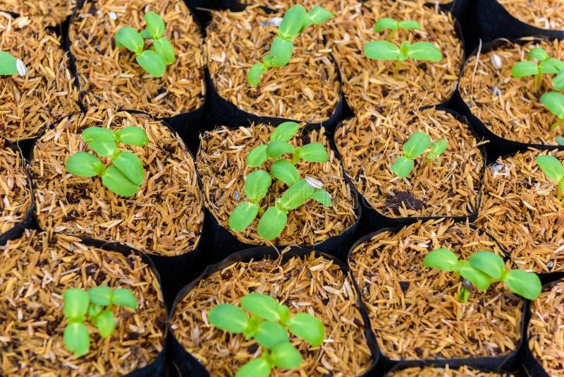 Giovane germoglio verde del girasole immagini stock libere da diritti