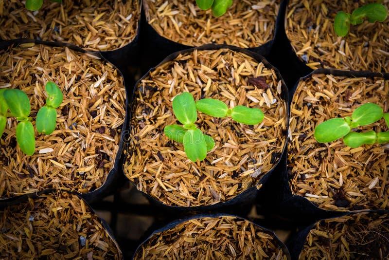 Giovane germoglio verde del girasole fotografia stock