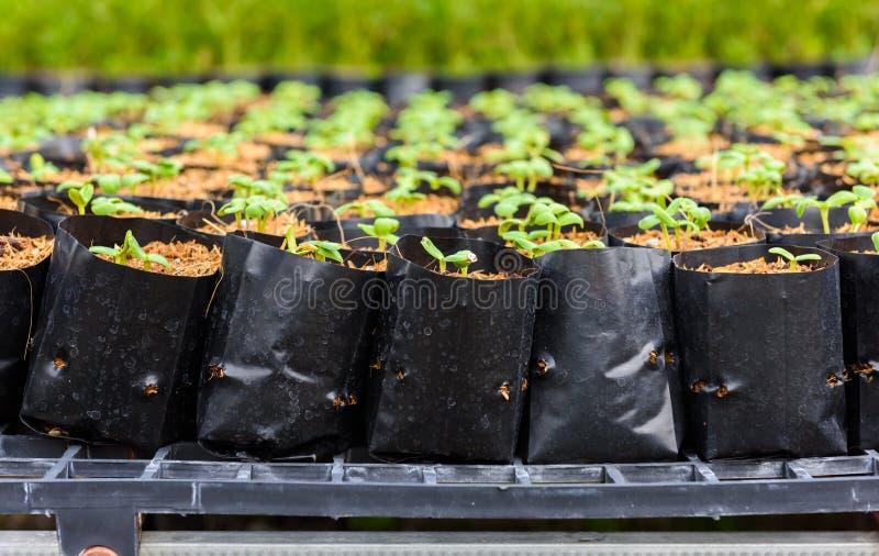 Giovane germoglio verde del girasole fotografia stock libera da diritti