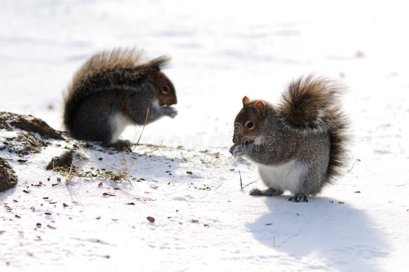 Giovane gioco degli scoiattoli fotografia stock libera da diritti