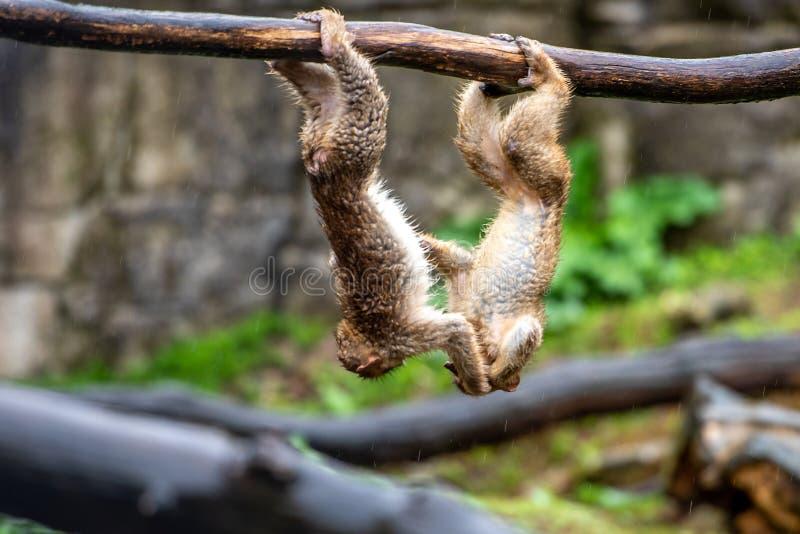 Giovane gioco della scimmia di berbero due fotografia stock libera da diritti
