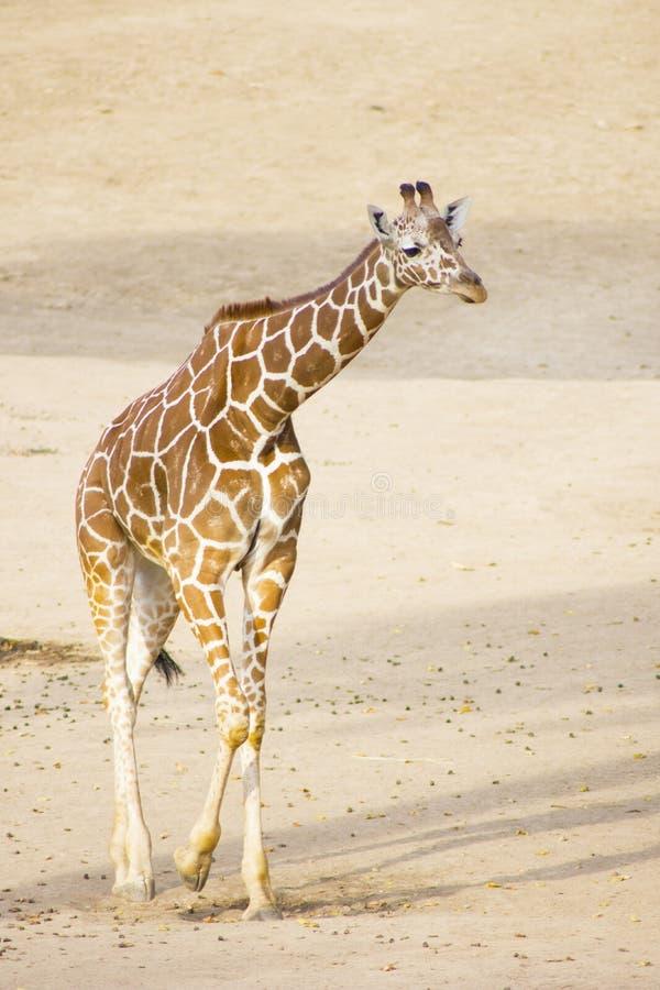 Giovane giraffa Camminata della giraffa immagini stock libere da diritti