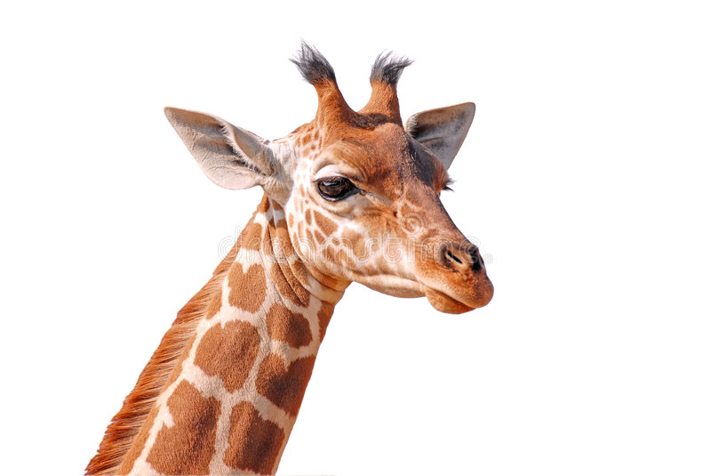 Giovane giraffa capa isolata fotografie stock libere da diritti