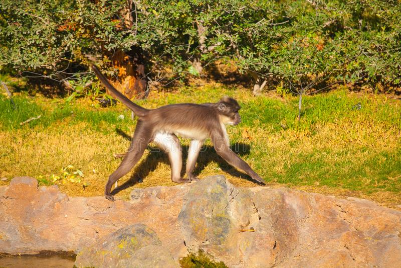giovane gorilla che cammina in natura fotografia stock libera da diritti