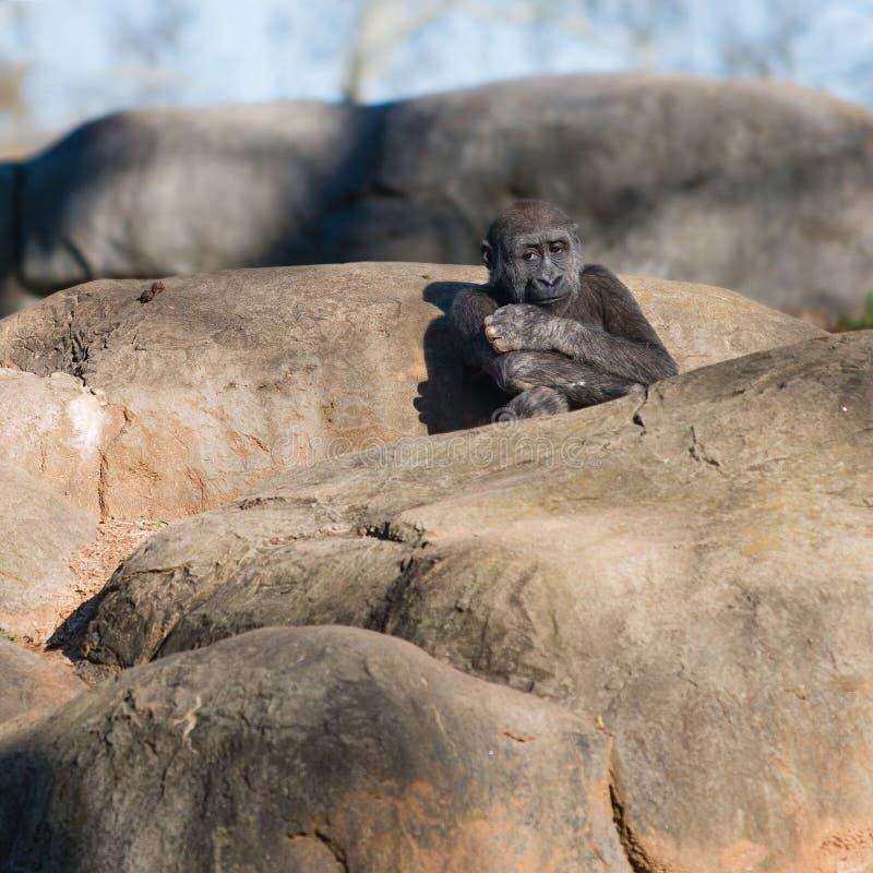 Giovane, gorilla sola che si siede sulle rocce fotografie stock